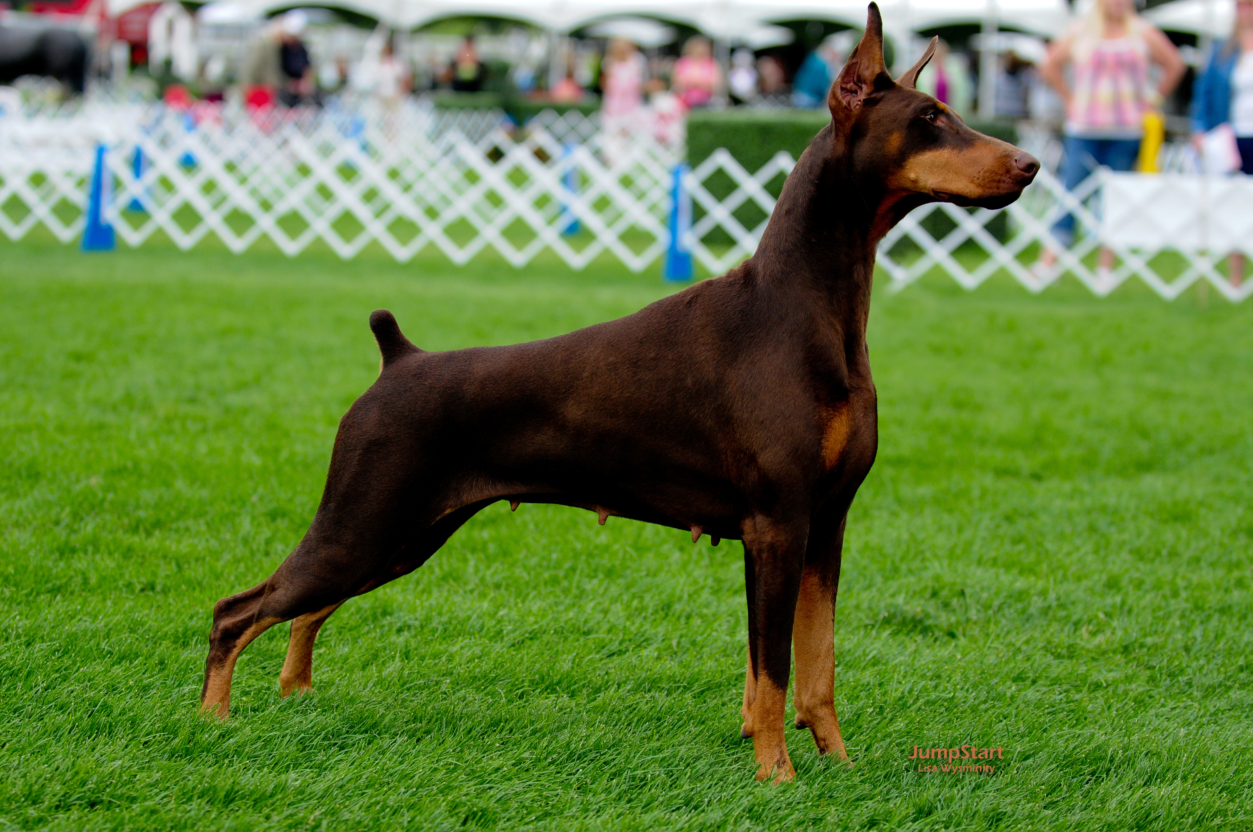 Smartie freestack AKC Aug 2011